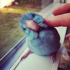 bird. I WANT ONE... OR TWO. OR THREE!!! :D SOOOOO cute!!!: Animals, Sweet, Pets, Things, Birds