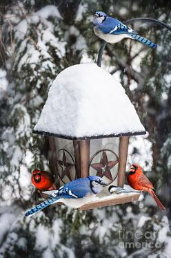 Birds On Bird Feeder In Winter by Elena Elisseeva: Bird Feeders, Blue Jays, Beautiful Birds, Bluejay