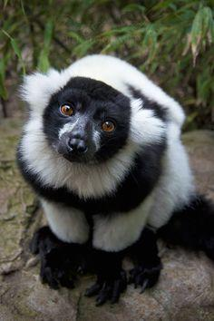 Black and white Lemur.beautiful.