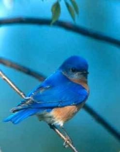 "Blue Bird. Missouri state bird. ~ ""The Blue Bird of Happiness""???: Bluebird Birds, Missouri Birds, Bluebirds Houses, Birds Blue, Blue Birds, Young Bluebird, Bluebird Houses Miss"