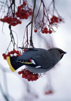 Bohemian Waxwing  Montana  photo by Mangelsen  someday I want to go to Montana and see one in person: Montana Photo, Animals, Nature, Creature, Beautiful Birds