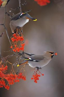 Bohemian Waxwing Pair- was priveleged to have a pair feasting on berries in my garden yesterday !: Birds Birds, Animals, Birds Birds Birds, Mangelsen Photography, Mangelsen Photos, Waxwing Pair
