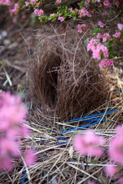 Bowerbird nest - finding the magic in nature and in everyday life: Bird Bowerbirds, Birds Nests, Nest Ei Kooi, Bowerbird Nests, Nest Egg Cage, Bowerbird S, Birdhouses Nests, Birds Ducks Nests Bird, Flower