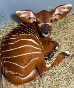 Brody the baby bongo. The most recent addition to my favorite animals list: Babies, Forest Antelope, Creatures, Antelope Species, Baby Animals, Amazing Animals, Baby Bongo