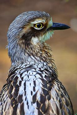 Bush Stone-curlew. Australia: Birds Our Feathered, Birds Bin, Bush Stone Curlew, Awesome Birds, Boisterous Birds, Beautiful Birds, Birds Curlew, Animals Photos