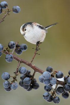Cute Chickadee w/Blueberries