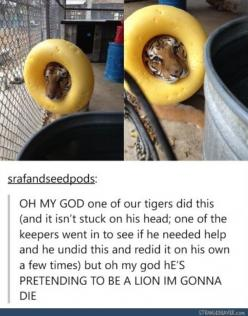 Don't judge him.. there just isn't many positive Disney Tiger role models as there are Lions.: Lion, Face, Giggle, Stuff, Things, Tigers, Funny Tumblr Posts