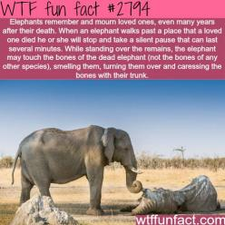 Elephants, the most emotional animales in the world - WTF fun facts: Elephants, Random Fact, Wtf Facts, Wtf Fun Facts, Wtffunfacts Love, Facts Wtf, Emotional Animal, Http Wtffunfact Com, Interesting Facts