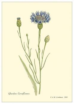 Everything is blooming most recklessly; if it were voices instead of colors, there would be an unbelievable shrieking into the heart of the night.  ~Rainer Maria Rilke, Letters of Rainer Maria Rilke: Botanical Illustration, Botanical Prints, Cornflower Bo