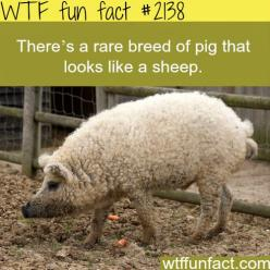 Facts about animals, intersting animals information WTF Facts : funny, interesting & weird facts: Sheeppig, Animals, Stuff, Pigs, Funny, Fun Facts