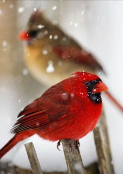 fairy-wren:    northern cardinals  (photo by kevin fleming): Animals, Northern Cardinals, Cardinals Photo, Birdie, Red Birds