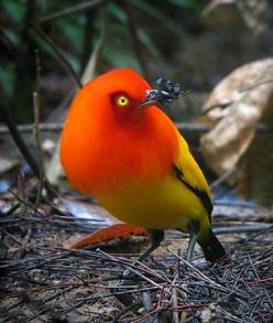 Flame Bowerbird, endemic to rainforests of New Guinea    TROPICAL BIRDING Papua New Guinea: Birding Papua, Flame Bowerbird, Beautiful Birds, Photo, Papua New Guinea, Male Flame, Animal