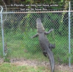 Florida: The Australia of America // funny pictures - funny photos - funny images - funny pics - funny quotes - #lol #humor #funnypictures: Fence, Animals, Stuff, Funny Pictures, Florida, Alligators, Funny Animal, Photo