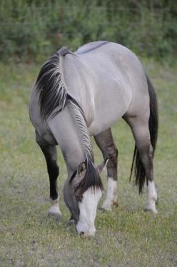 gorgeous baby!!!: Beautiful Horses, Animals, Equine, Color, Dream Horse, Pretty Horses, Grulla Horse