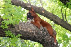 Gorgeous - what in the WORLD? <3: Boxer Dogs, Boxers Ruger, Cat, Animals, Boxers Big, Tree, Boxers Dogs, Boxers 3, Boxers And