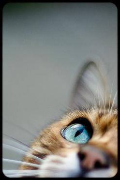 Great examples of shooting 'wide open', mostly at f1.4. (Photo: 'I spy Mr Licks' by Mr 76, via Flickr): Cats, Animals, Cat Eyes, Pet, Blue Eye, Photo, Beautiful Eye, Kitty