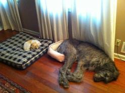have you ever woken up in the wrong bed?: Animals, Dogs, Bed, Pets, Funny, Irish Wolfhound, Funnie
