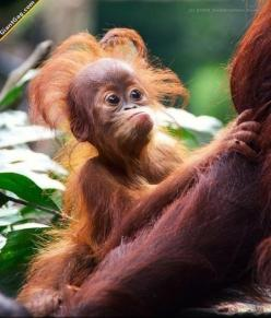 Hilarious Pictures of the day, 70 pics. Cute Orangutan Baby: Animals, Monkeys, Hairs, Orangutans, Funny, Bad Hair, Primate, Baby Orangutan