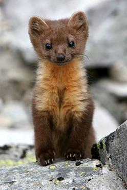 i'm not fat but i'm little and ding dang cute.  I'm a pine marten and i live in michigan u.p.: Babies, Critter, Creature, Pet, Baby Pine, Baby Animals, Pine Martin