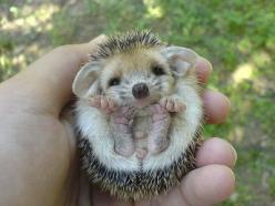 I just updated the link for this, I hope that hasn't broken it, but I found the original :): Face, Critter, Guy, Pet, Adorable Hedgehog, Feet, Baby Hedgehog, Friend