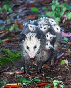 i LOVE opossums! here's a mama taking her sweet babies out for a walk <3 sooo very cute! <3: Bare, Babies, Critter, Mothers, Creatures, Baby Animals, Families, Family Photo, Mom