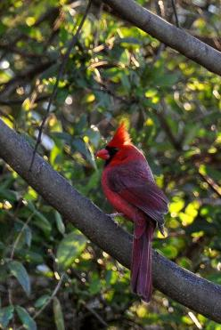 I might need a special pinboard, just for cardinal photos.: Cardinal Inspiration, Cardinal Collection, Cardinal Birds, Cardinal Photos, Cardinal Enchantment, Cardinal Beauty, Beautiful Cardinals, Birds Cardinals