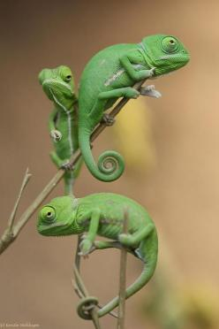 If I were going to have a lizard.....which I probably won't, this would be it.: Reptiles, Animals, Chameleons, Nature, Green, Pet, Lizards