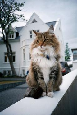 Maine Coon: Kitty Cats, Beautiful Cat, Norwegian Forest Cat, Maine Coon Cat, Kitty Kitty, Coon Cats, Fluffy Cat, Animal, Mainecoon