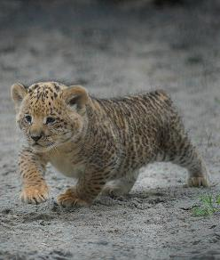 Meet the liliger cubs of the Novosibirsk Zoo. A liliger is what's known as a secondary hybrid: the offspring of a male lion and a female liger. A liger is itself the hybrid offspring of a lion father and a tiger mother.: Animals, Cub S Mother, Cubs, P
