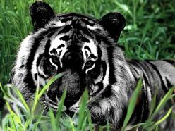 Melanistic or Black Tiger...this is just awesome and not funny, but i didnt know where else to pin it: White Tigers, Big Cats, Animals, Beautiful, Bigcats, Melanistic Tiger, Wild Cats, Black Tigers