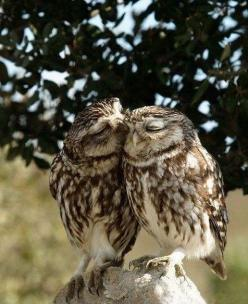 "Miks' Pics ""Fowl Feathered Friends lV"" board @ http://www.pinterest.com/msmgish/fowl-feathered-friends-lv/: Kissing Owls, Hoot Hoot, Owls Owls, Owls Kissing, Owls 3, Animal"