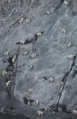 Mountain goats- aren't these critters amazing?: Amazing, Animals, Animal Kingdom, Nature, Creature, Mountain Goats, Sheep, Things, Photo