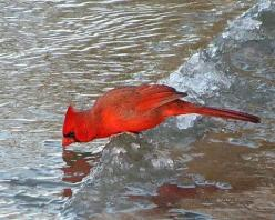 Northern Cardinal getting a drink while perched on an ice ledge: Animals Birds Insects, Cardinal Birds, Cardinals My, Cardinals In, Cardinals Redbirds, Birds Cardinals