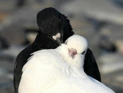 oh...sweet doves: Pigeon, Animals, Black And White, Black White, Fine Feathered, Beautiful Birds, Where, Photo