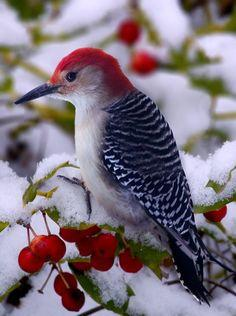 One of God's creatures -Red headed Woodpecker