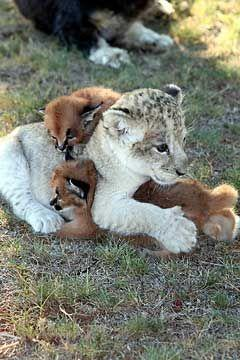 Orphaned lion cub and caracal kittens become friends at the Pumba Private Game Reserve in South Africa. - Pawnation: Animals, Big Cats, Pet, Baby Animal, Animal Friends, Wild Cats, Kittens, Lion Cubs