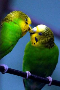 Parakeet kiss  My first pet was a parakeet named Charlie. He was much loved by my family: Budgie Kiss, Parrot Budgies, Parakeet Kiss, Birds Parrots, Beautiful Birds, Animals Birds, Budgies Parakeet