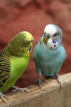 Parakeets:  I have had a couple of green ones and one blue parakeet as pets. They are so clever and so much fun.: Parakeets She, Pets, Angel Cards, Parakeets Birds, Pet Parakeets, Parakeets Squeeee, Fun, Budgies Parakeet, Animal