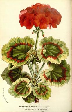 Pelargonium zonale ( commonly known as geranium) taken from Flore des serres et des jardins de l'Europe (1862-1865).  Louis van Houtte (1810–1876).: Botanical Illustration, Gardens, Flora, Gardens, Botanical Art, Greenhouses