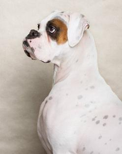 Piotr M. Organa, photographer- look at that underbite. That's a BOXER: Boxer Dogs, Pet, Animals Puppy Dogs, Dogs Boxer, White Boxer Dog, White Boxers Dogs, Friend