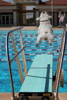 Pool Pup| - - -<3- - -: English Bulldogs, Pet, Pure Joy, Puppy, Leap Of Faith, Frenchie, Summer Time, Animal