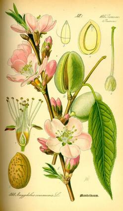 Prunus amygdalus / Otto Wilhelm Thomé, Flora von Deutschland Österreich und der Schweiz (1885): Almonds, Botanical Illustrations, File Illustration Prunus, Botanical Art, Charts Flowers Er, Almond Illustration