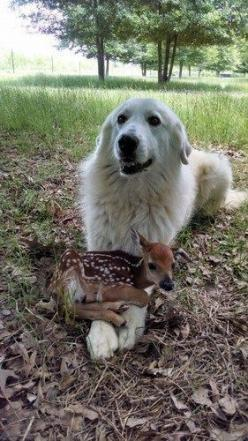 Pyrenees dogs, the faithful guardians: Baby Deer, Dogs, Great Pyrenees, Pet, Odd Couple, Friend, Animal