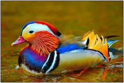 rainbow duck!: Colorful Birds, Animals, Nature, Mandarin Duck, Colors, Ducks, Photo