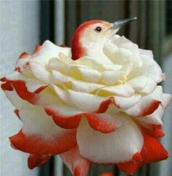 red and white hideaway... It's easy to hide in a flower that looks just like you!: Humming Birds, White Rose, Nature, Roses, Beautiful Birds, Flowers, Hummingbirds, Animal