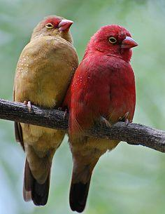 red-billed fire finches from africa