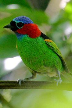 Red-necked Tanager, found in Argentina/ Brazil/ Paraguay