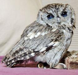 Rescued Blind Owl 'Zeus' Has Stars in His Eyes (8 pictures): Animals, Zeus, Screech Owl, Blind Screech, Learning Center, Owls, Eyes