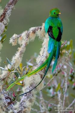 Resplendent Quetzal by David Seibel, via Flickr: Nature, Birds Quetzal, Pretty Birds, Beautiful Birds, Photo, Resplendent Quetzal, Birds Feathers
