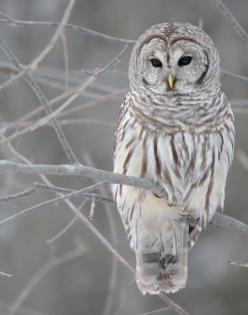 Resultados de la Búsqueda de imágenes de Google de http://bluemooncandles.files.wordpress.com/2010/01/snowowl-1.jpg: Animals Owls, Barred Owls, Snow Owls, Owls 3, Beautiful Owl Pictures, White Owl, Snowy Owl